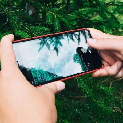 Nadelbaum wird zur Bestimmung mit Smartphone fotografiert